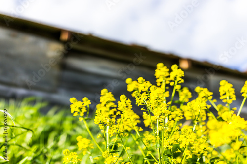 In de dag Geel Macro closeup of field mustard flowers growing by shed in countryside