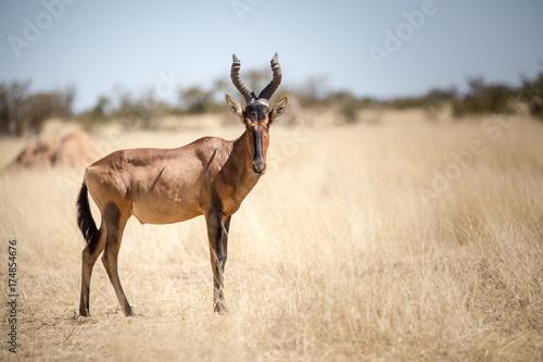 Fotobehang Hert Etosha Wilderness, Namibia, Africa
