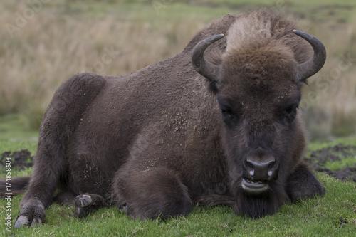Fotobehang Bison european bison, wisent, buffalo, Bison bonasus, walking and laying scene