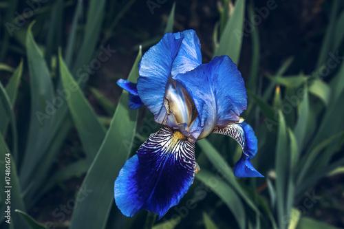 Fotobehang Iris Iris flower purple spring flowerbed