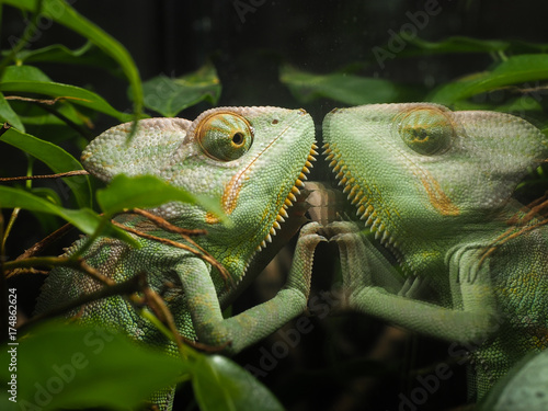 Fotobehang Kameleon Chameleon looks at his reflection in the glass terrarium