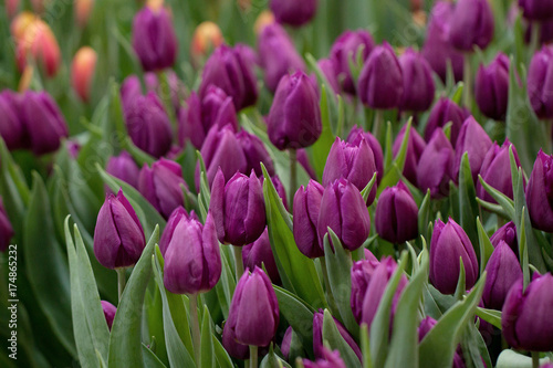 Fotobehang Tulpen beautiful lilac tulips on the lawn or in the field