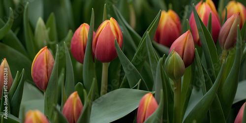 Fotobehang Tulpen beautiful red-orange tulips on the lawn or in the field