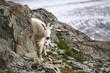 Mountain goat, Akaska, USA