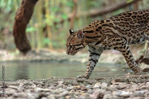 Leopardus pardalis. ocelot. gattopardo. Leopardus pardalis Poster