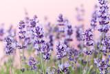 Lavender flowers. - 174879846