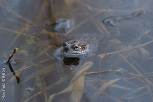 Aluminium Kikker Frog in the water