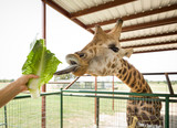 Closeup hand feeding brown Giraffe  with green leaves in the zoo. - 174891046