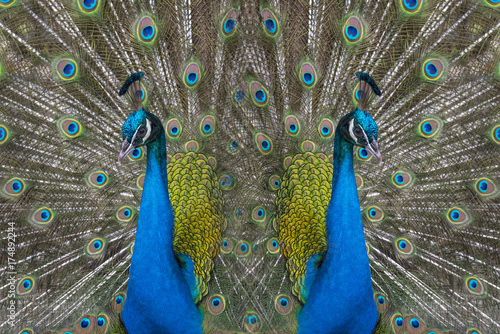 Aluminium Pauw Abstract background made of peacock feathers