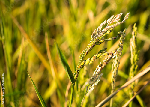 Bright spikelets in the field. Close-up. Blurred background.
