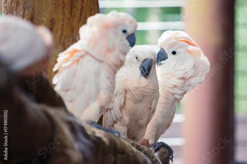 Aluminium Papegaai Group of white parrots