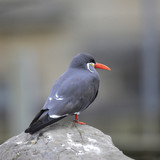 Portrait of ringed Inca Tern birds on rocks in natural habitat environment - 174907697