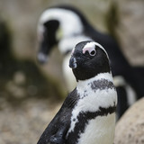 African Penguin Spheniscus Demersus bird in natural habitat landscape - 174907894