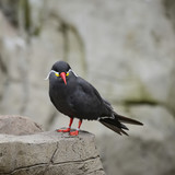 Portrait of ringed Inca Tern birds on rocks in natural habitat environment - 174907896