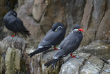 Portrait of ringed Inca Tern birds on rocks in natural habitat environment - 174908086