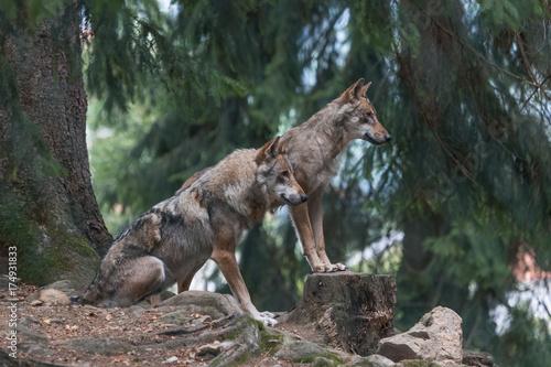 Fotobehang Wolf Wölfe_Ausschau