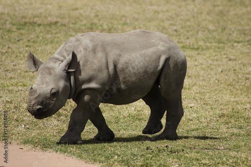 Aluminium Neushoorn Rhino 3