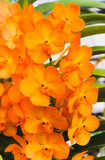 Macro of group Orange orchid flowers with green leaf - 174945202