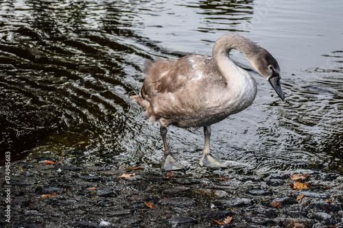 Fotobehang Zwaan bird