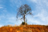 Landscape The first tree red Ground and bright blue sky Or use background. - 174948437
