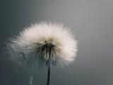 dandelion - 174949600