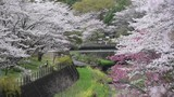 Blooming season of cherry blossom at Showa Kinen Park in Japan - 174951285