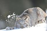 lynx playing in snow  (full body)