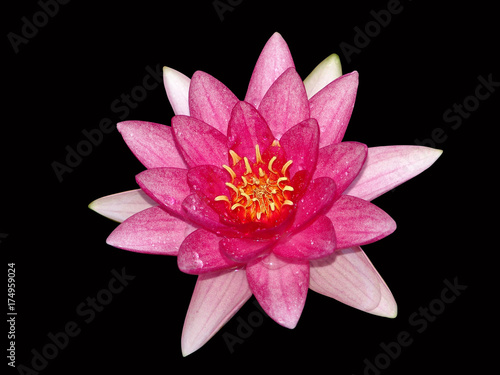 water, lily, isolated, background, black, lotus, flower, white, nature, floral, Poster