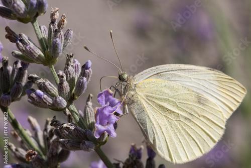 Spoed canvasdoek 2cm dik Lavendel Pieride