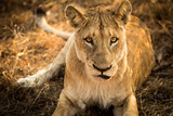 Lioness - 174969683