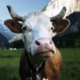 Cow on Alps. Jungfrau region, Switzerland - 174979853