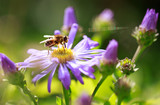 close up of a Honeybee resting on a purple michaelmas daisy - 174981217