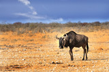 wildebeest walking across the dry african plains with a nice blue slightly cloudy sky - 174981640