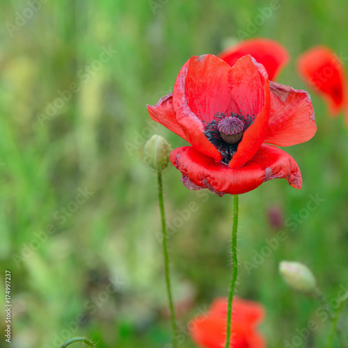 Foto op Canvas Klaprozen Poppy 3