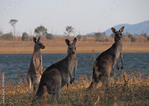 Aluminium Kangoeroe Three Kangaroos by Lake Wivenhoe
