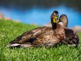 Two Ducks in Grass Lawn - 175006214