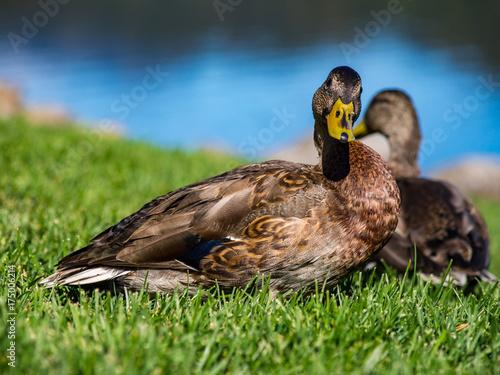Two Ducks in Grass Lawn