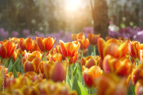 Fotobehang Tulpen Orange yellow tulips flower field with sun light and lens flare with blurred purple tulips background
