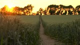Pull focus, foreground to background, 4K clip of path through wheat or barley field blowing in the wind at sunset or sunrise - 175011696