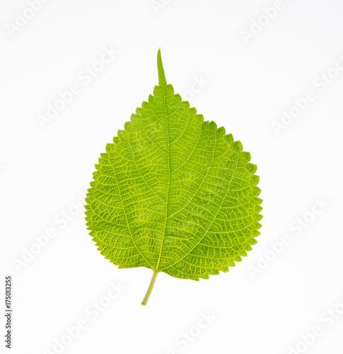 leaf or green leaf on a background.