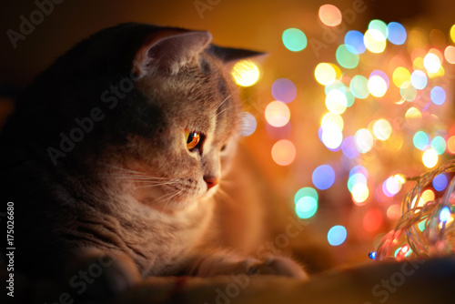 Cat and Christmas lights
