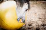 Horse playing and biting big yellow ball, close up - 175031615