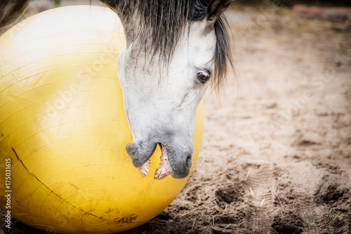 Horse playing and biting big yellow ball, close up Poster