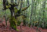 Hayedo. Bosque de hayas. Fagus sylvatica. Comarca de Riaño, León, España.  - 175032432
