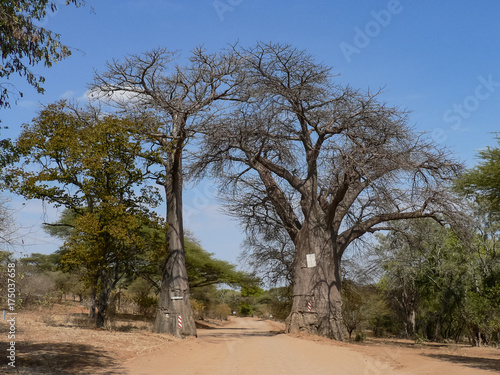 Foto op Plexiglas Baobab Road between twin baobabs near Linyanti river in Botswana