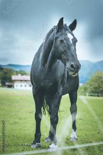 Schwarzes Pferd auf Weide Poster
