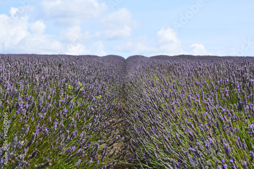 Fotobehang Lavendel Rows of lavender flowers in field