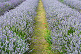 Rows of lavender flowers in field - 175049634