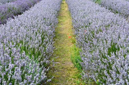 Fotobehang Lavendel Rows of lavender flowers in field