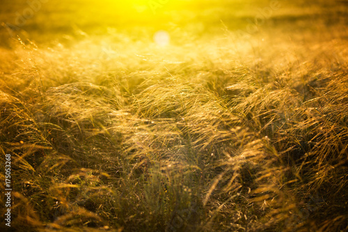 Poster Honing Beautiful landscape with autumn meadow. Dry autumn yellow grass over sunset or sunrise